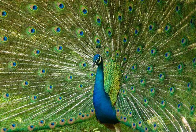 peacock-image